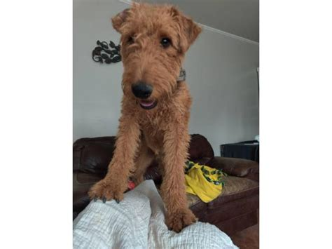 1 year old Airedale Terrier to be rehomed in Eagle, Idaho