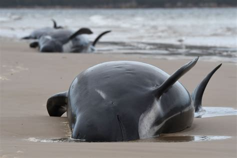 Almost 500 whales found beached on Tasmania's coast in