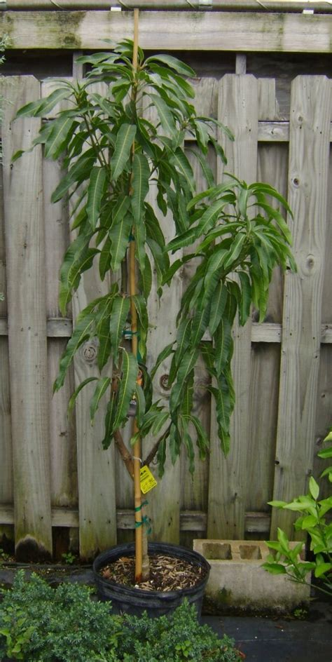 Buy Haden Mango Trees, For Sale in Orlando, Kissimmee