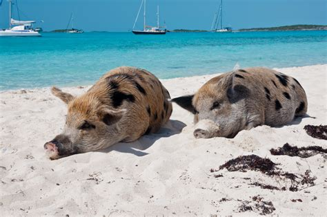 Pig Beach: How to visit the Bahamas Swimming Pigs in
