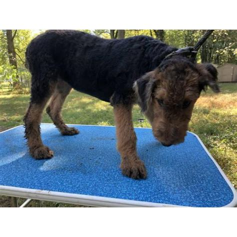 AKC Airedale Puppies in Columbus, Ohio - Puppies for Sale