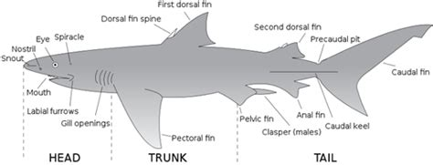 Information About Sharks And Their Anatomy Secrets - Shark