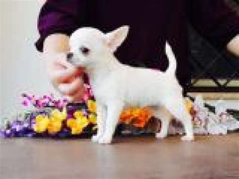 I have 1 long coat Chihuahua Puppies looking for loving