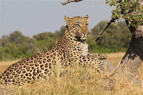 By 2020 no more leopards in Soutpansberg Mountains - Die