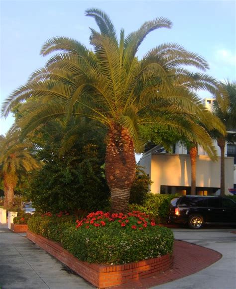 Buy Canary Island Date , For Sale in Orlando, Kissimmee