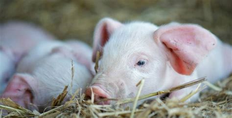 British Lop - Slow Food in the UK