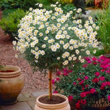 Marguerite Giant Daisy Tree - Perfect for Patios - LARGE