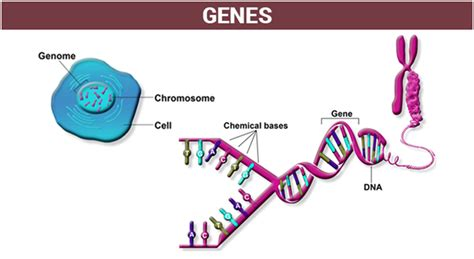 Gene Regulation - An overview of Gene Expression and