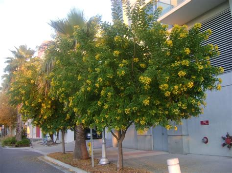 Buy Cassia Trees, For Sale in Miami, Ft Lauderdale